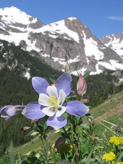 Columbine along the 4th of July Trail, Indian Peaks Wilderness Area