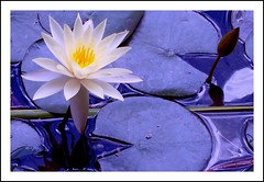 Mother Lily (Christine Lebrasseur) Tags: africa travel blue brown white france flower macro reflection art nature water yellow canon hp poetry waterlily haiku kenya quote tsavo claudemonet r707 interestingness26 allrightsreservedchristinelebrasseur
