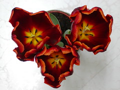 聖誕夜買的鬱金香 world's favorite (Chrischang) Tags: red plant flower balcony tulip 鬱金香 minigarden myplant worldsfavorite 世界最愛 植栽 myflower home500 balcony500