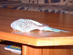 Putzi_5 (Da Spoon) Tags: australianparrot budgerigar bird budgie