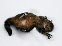Clem making Snow Angels (Padrone) Tags: winter pets snow cute 20d topf25 topv111 cat topv555 topv333 explore mostfavorited topv777 clem interestingness409 canon24105f4lis interestingness310 i500 ccc20 cat1800