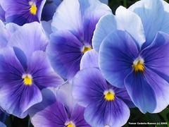 Blue Blue Pansies