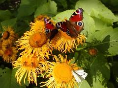 Buphthalmum med dagpåfugleøje og kålsommerfugl
