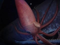 giant squid (lilavati) Tags: amnh giantsquid