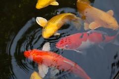 golden carp #2 - by eesti