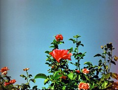 bulgarian rose (eesti) Tags: 2005 smena smena8m rose flower bulgarian blue sky beautiful film agfa ultra100 negative toycamera russiancamera lomography bulgaria  retro 35mm easteurope tarnovo velikotarnovo lightleak  agfaultra