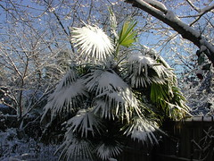 Thatch palm, after snow, Columbia SC, 2002 (Just Back) Tags: camera blue trees winter shadow sky plants white snow plant cold tree green ice sc water leaves garden botanical frozen nikon scenery afternoon shine view southcarolina scene columbia science foliage southern carolina botany biology sheen palmae brilliant cornus ulmus arecaceae thatchpalm thrinax outofafghanistan wwwherbariumorg