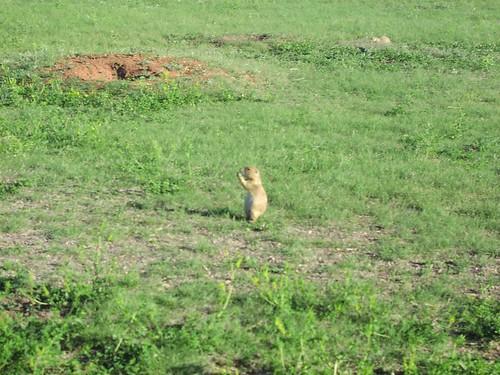 Prairie dog (Cynomys), North Dakota