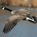 Canada Goose, Maryland, Jan. 27