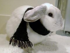 (migi328) Tags: pet black rabbit bunny scarf lopear plopp