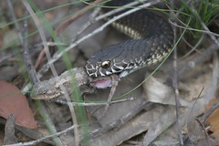 Snake eat lizard (nospuds) Tags: snake bluemountains lizard
