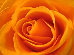 orange! (mimbrava) Tags: orange 6 flower macro topf25 rose topv111 closeup catchycolors ilovenature other interestingness topf50 topv555 topf75 bravo gutentag lovely1 quality topv1111 topv999 explore mimbrava 500v50f topv777 1000v100f topf100 excellence continuum top333 magicdonkey exploretop20 setexplorepage setmyfavorites setflickrfavorites setflowersset2 setjustroses setcatchycolors setinmacromode bestoforange flickrthisisnotfood