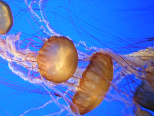 stringy jellyfish