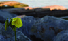 Solo (Shannon K) Tags: sanfrancisco flower yellow rocks bokeh soma mccoveycove photodotocontest1