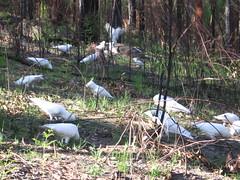 Cockatoos (Beppie K) Tags: bird nature birds sydney australia cockatoo feasting bushfire regrowth sulfurcrestedcockatoo lanecovenationalpark