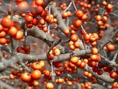 (Zach Hollandsworth) Tags: orange macro tree nature bush berry plantae hawthorn rosales rosaceae maloideae crataegus magnoliophyta magnoliopsida riverlegacypark riverlegacy