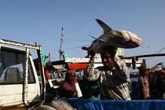 Man putting a shark in his pick up - Hoddeida market - Yemen (Eric Lafforgue) Tags: republic arabic arabia yemen arabian ramadan yemeni yaman arabie jemen lafforgue arabiafelix  arabieheureuse  arabianpeninsula ericlafforgue iemen lafforguemaccom mytripsmypics imen imen yemni    jemenas    wwwericlafforguecom  alyaman ericlafforguecomericlafforgue contactlafforguemaccom yemenpicture yemenpictures