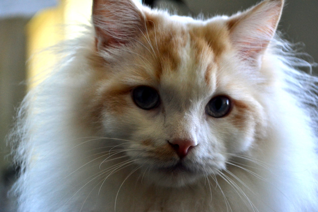 Linus Cat Ears