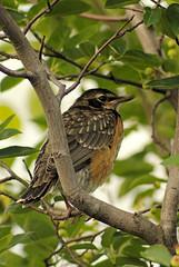 Merle d'Amrique, juvnile  /Juvenile  American Robin (Pentax_clic) Tags: robin rouge juin quebec gorge merle amrique 2015 vaudreuil robertwarren imgp7251
