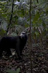 Apan i Bitung maj 2015 (j.annsofie) Tags: lea manado indonesien djungel segling segla bitung christiankasesalu projektjordenrunt wwwjessicasegerbergcom fotografjessicasegerberg henrikjnsson jonathanwingrd