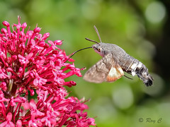 Hummingbird hawk moth (roychurchill) Tags: macro canon insect moth devon barnstaple northdevon hawkmoth hummingbirdhawkmoth 5d3 roychurchill
