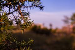 Pine (SrdjanStojiljkovic) Tags: tree nature pine branch fantasticnature