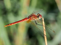 dragonfly.. (quarzonero ...Aldo A...) Tags: dragonfly