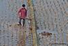 Farmer in the rice paddies near Mahasthan Citadel, Bangladesh (Sekitar) Tags: work evening asia rice citadel south farmer ricefield job ricefields bangladesh ricepaddy paddies southasia mahasthangarh bangladesch mahasthan