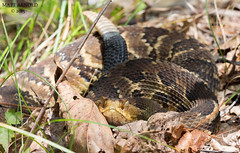Timber Rattlesnake (commercialam3n) Tags: macro field canon timber reptile snake rattlesnake reptiles herpetology crotalus horridus herping crote fieldherpetology
