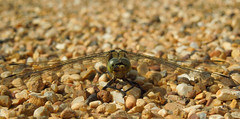Dragonfly, Queen Elizabeth Olympic Park (QEOP), July 2015 (roger.w800) Tags: park city london nature dragonfly wildlife stratford eastlondon odonata queenelizabetholympicpark parkinacity qeop