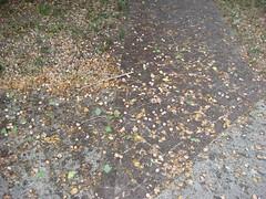 Around Butchertown (brokensidewalk) Tags: louisville kentucky litter stinks storyavenue sidewalks bricksidewalks treelitter ginkgos