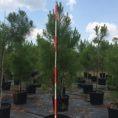 30g Loblolly Pine 8/4/15