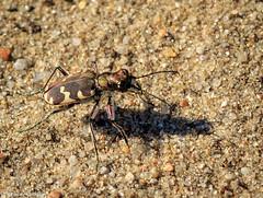 Cicindela hybrida - Dünen-Sandlaufkäfer (Stephan Güthlein Fotografie) Tags: germany insect deutschland natur insekten käfer markbrandenburg cicindelahybrida dünensandlaufkäfer naturbeobachtung gosenerwiesen