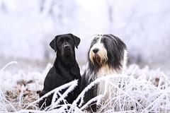 Ole und Maggie im Raureif (laboheme82) Tags: labrador dog hund beardedcollie beardie labbi dogs hunde animal animals