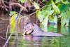 Loutre géante d'Amazonie / Giant otter of Amazonia Manu/Peru (geolis06) Tags: geolis06 pérou peru perú amériquedusud southamerica ríomanu amazonie amazonia rainforest jungle forêt forest madrededios biospherereserve manu parcnationaldemanú manúnationalpark 2016 patrimoinemondial unesco unescoworldheritage unescosite pantiacollatour nikon nikond7200 sigma sigma150600mmf563dgoshsmcontemporary giantotter loutregéante loutre otter iucn red list giantbrazilianotter pteronurabrasiliensis cochasalvador uicnredlist