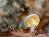 forest star (gatomotero) Tags: amanitacitrina fungi setas bosque olympusomdem1 pentacon135mm28 bokeh ambiente naturaleza otoño
