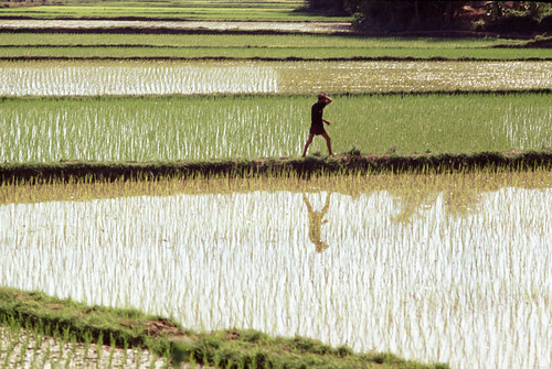 Landscape of a man walking on a rice paddy dike near Phu Tai, Vietnam, 1970 - Photo by James Speed Hensinger