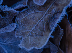 A cold morning (3) (frankmh) Tags: leaf frosty cold winter january hittarp skåne sweden outdoor