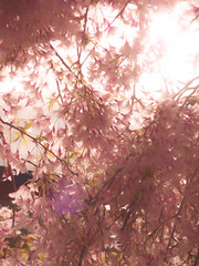 The Spring Sun Shines Brightly (Steve Taylor (Photography)) Tags: art digital pink white happy nz newzealand southisland canterbury christchurch flower blossom petals tree branch sunny sun sunshine cherry spring