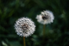 (C-47) Tags: flowers helios 442 canon eos 7d mk mark ii m42 bokeh green plant nature themacrogroup