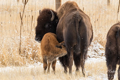 December 11, 2016 - A young bison gets breakfast at the Arsenal. (Tony's Takes)