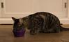 Yum. (Alex-de-Haas) Tags: animals cityofedam edam nederland netherlands animal cat cats eating eten feeding feline felines food huisdier huisdieren kat katten pet pets poes poezen voer voerbakje