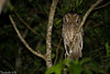 Megascops choliba (azambolli) Tags: ave bird animal coruja owl nature natureza brasil