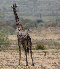 Masai giraffe vs doggie (mirsasha) Tags: january kenya giraffe 2017 hellsgate masaigiraffe