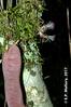 2017-02-03 TEC-3247 Zygia peckii - E.P. Mallory (B Mlry) Tags: 2017 6leaflets1pinnate tec belize belizezoo compoundleaf fabaceae flora leafstructure mimosoideae simplefruit tbz transitionforestlongtrail tropicaleducationcenter zygiastevensonii cauliflorous dehiscentdryfruit elongatebean podsplittingintohavesalong2seamswhendry foliage fruit habitat insitu legumbre legume trails type democracia