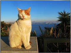 Ciccio (gennaromignolo) Tags: baia provincia di napoli cats felini golfo pozzuoli campania italia italy animali provinciadinapoli chat