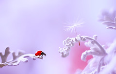 Jacobaea maritima 🐞🎈 (ElenAndreeva) Tags: red winter color sun light summer bokeh beautiful closeup cute white insect canon garden purple top soft dream colorful composition sweet focus bug best amazing nature colors macro flower ledybug