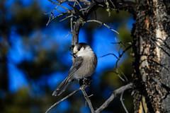 Gray Jay (jacques.raymond10) Tags: kananaskis alberta canada ca greyjay grayjay canadajay whiskyjack rockies corvidae bird