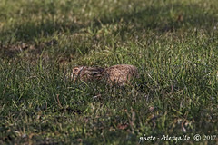 lepre mimetizzata (Alessandro.Gallo) Tags: photoalexgallo pianurapinerolese lepre coniglio mammiferilagomorfi