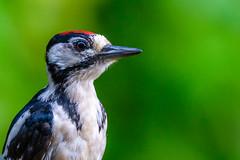 The great spotted woodpecker (Dendrocopos major) (Andrea Bovolo) Tags: great spotted woodpecker picchio rosso maggiore grote bonte specht vogel bird sigma 150600 sport nikon d7100 animal outdoor photo border